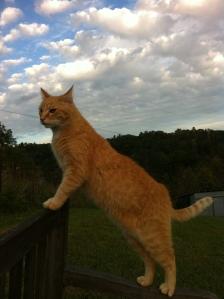 Orange Boy Cat
